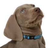 "Lazer Brite Dog Collar, 8-12"" x 3/8"""