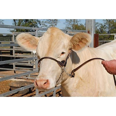 Round Dairy/Beef Show Halter, Cow (1000 lb or more)
