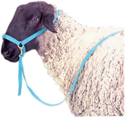 Sheep Lamb and Goat Adjustable Halter with Rope Lead NEON GREEN Showing Sheep